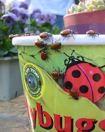 real lady bugs.jpg